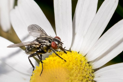 Fly, Insect, Macro, Nature, Flowers, Marguerite