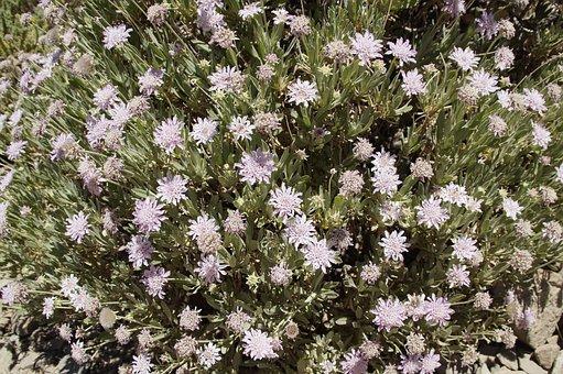Kardengewaechs, Bloom, Blossom, Bloom, Dipsacaceae