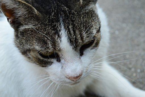 Cat, Kitten, Domestic Cat, Pets, White-grey Cat, Tabby
