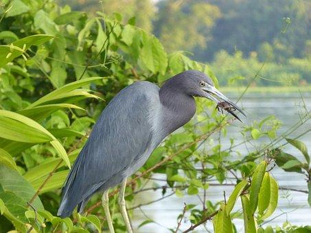 Costa Rica, Toruguero, Landscape, National Park, Heron