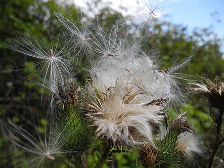Milkweed, Seeds, Macro, Nature