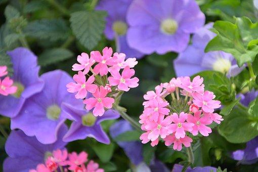 Flowers, Mauve Pink, Plants, Massif, Blooming