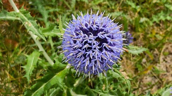Flower, Violet, Mountain, Nature, Purple Flower, Plant
