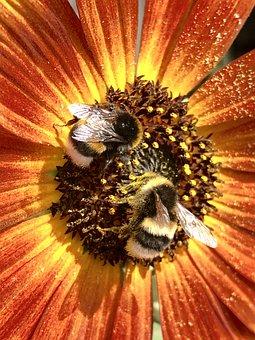 Hummel, Bumblebees, Bourdon, Bee, Bees, Flower, Nature