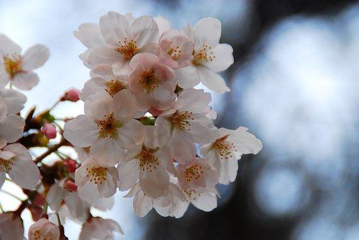 Flower, Cherry Blossoms, Spring, Blossom, Nature