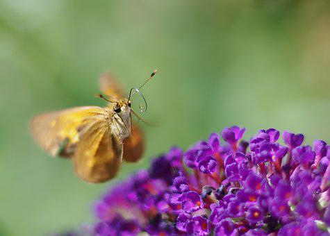 Butterfly, Insect, Wing, Antennae, Nature, Bush, Purple