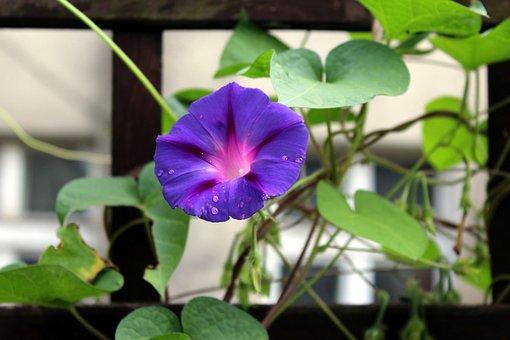 Bindweed, Creeper, Purple Flowers, Blooming, Foliage