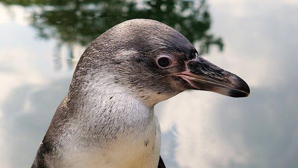 Penguin, Bird, Animal, Animal World, Water Bird, Water
