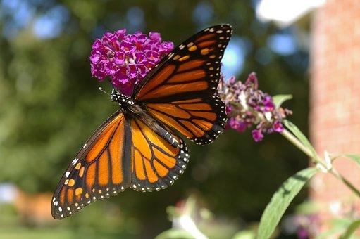 Butterfly, Monarch, Bush, Purple, Orange, Yellow