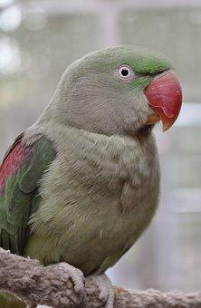 Alexander Parakeet, Bird, Plumage, Colorful, Aviary