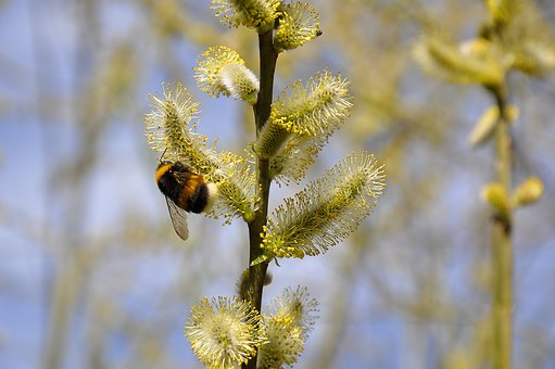 Bee, Hummel, Nature, Insect, Blossom, Bloom, Flower