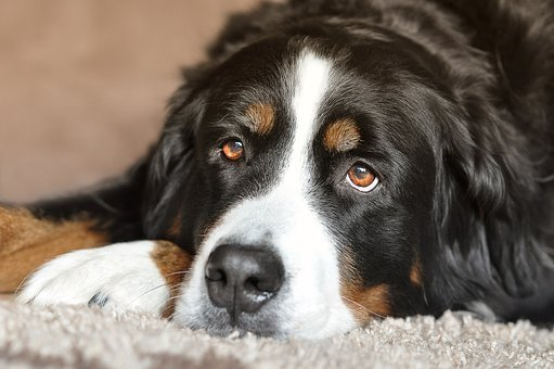Dog, Bitch, Bernese Mountain Dog, Eyes, Animal, Pet