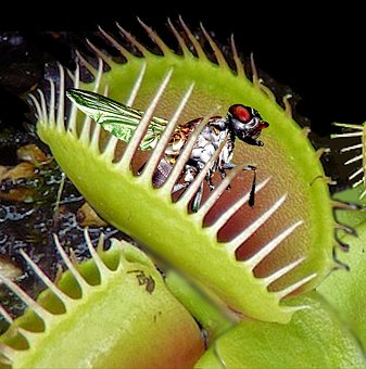 Venus Flytrap, Trapped, Fly, Catch, Insect, Carnivorous