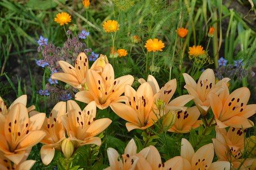 Lily, Flowers, Garden, Dacha, Salmon Lilies