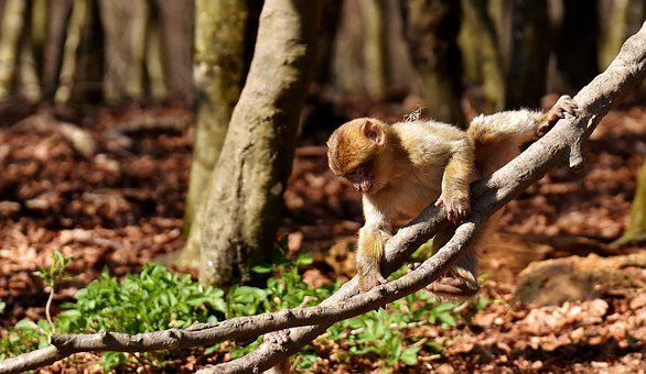 Barbary Ape, Climb, Play, Cute, Endangered Species