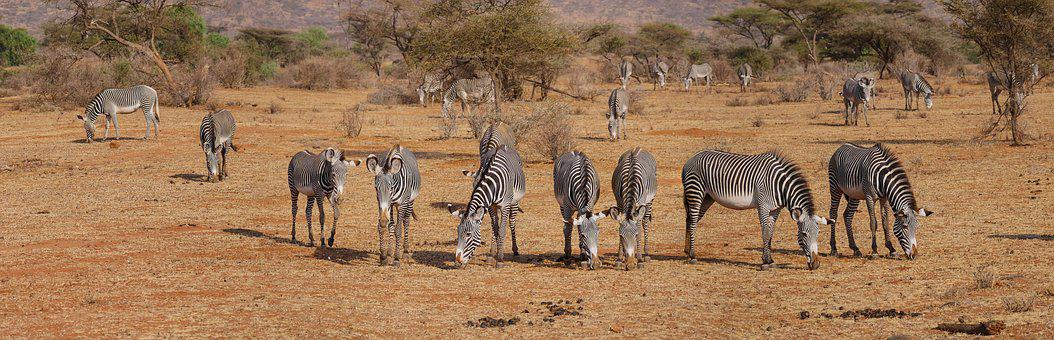 Zebra, Grevy, Flock, Freedom, Savannah, Eat, Graze