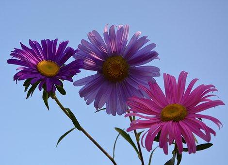 Flowers, Marguerite, Petals, Parma, Violet