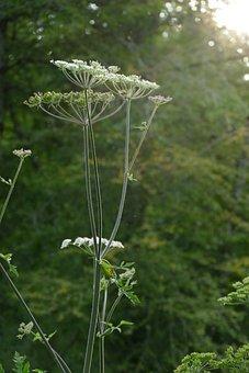 Flutes Herb, Sunlight, Sun, Evening, Flora, Plant