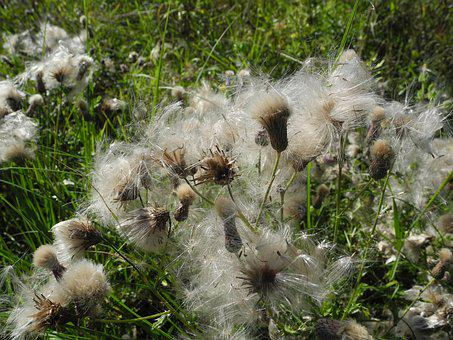 Milkweed, Seeds, Accumulation, Macro, Nature