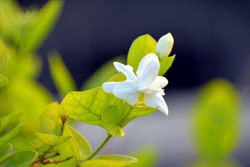 Arabian Jasmine, Jasminum Sambac, Motia