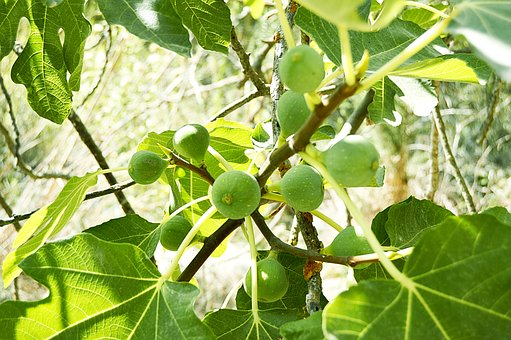 Figs, Fruits, Fig Tree, Nature, Fruit, Green