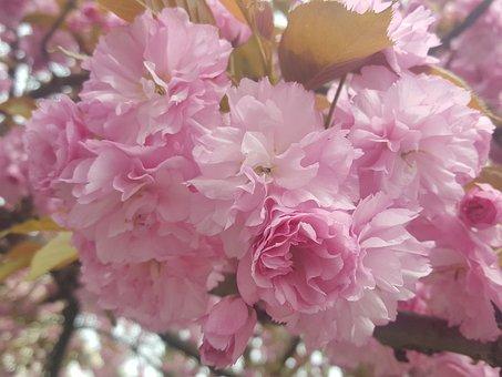 Sakura, Flower, Japanese, Blossom, Spring, Nature, Pink