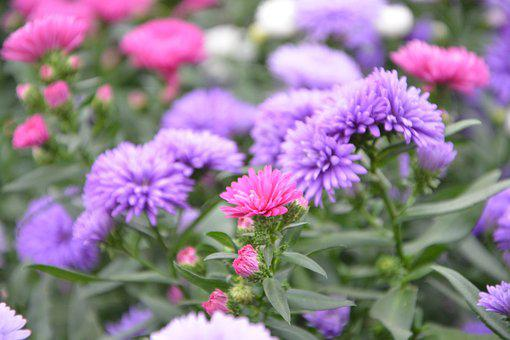 Flowers, Plants, Aster, Plants Flowering, Nature