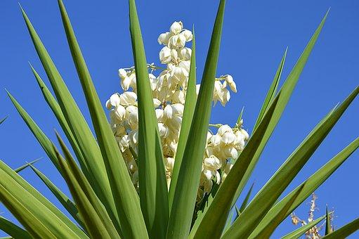 Cassava, Flowering Of Cassava, White Flowers, Nature