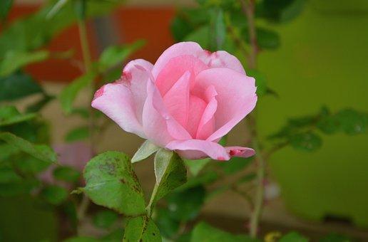 Pink, Rosebush, Green Leaf, Nature Garden, Offer, Plant