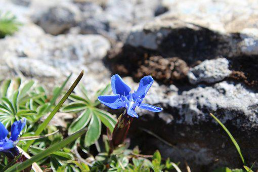 Alpine, Flower, Flora, Nature, Plant, Blue, Flowering
