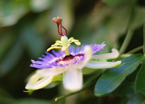 Flower, Passion Flower, Purple, Blossom, Bloom, Plant