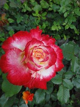 Color, Fire Rose, Splendor Bloomed, Rose, Bright Red