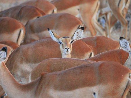 Impala, Flock, Center, Stand Out, Striking, Gazelle