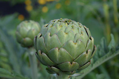 Artichoke, Cultivation, Grow, Garden, Green, Vegetable