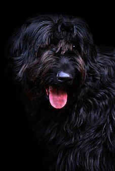 Riesenschnauzer, Black, Long Haired, Vigilant