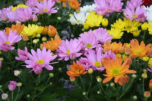 Flowers, Daisies Colors, Orange Rose, Yellow, White