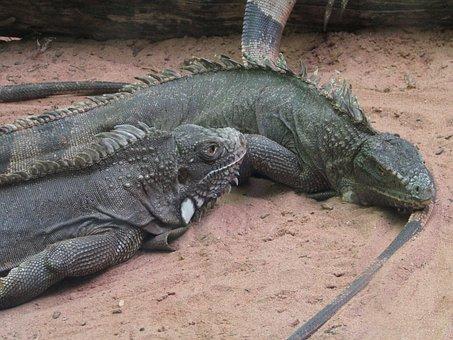 Nature, Animal, Zoo, Animal World, Animal Life, Iguana