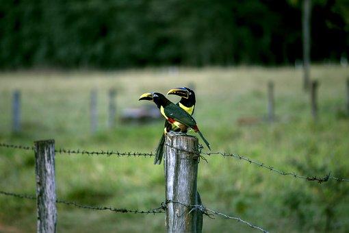 Araçari, Tucano, Birds, Bird, Birdie, Casal, Colorful