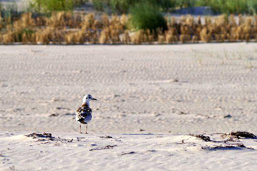 Beach, Sand, Seagull, The Baltic Sea, Sandy Beach