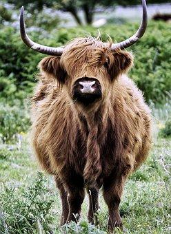Desirable, Scottish Hochlandrind, Beef, Horns, Pasture