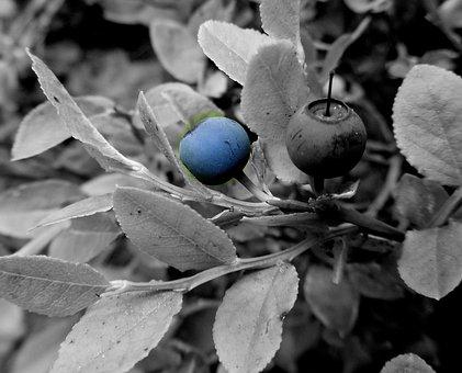 Blueberry, Boroviní, Blue, Forest, Blueberries, Berry