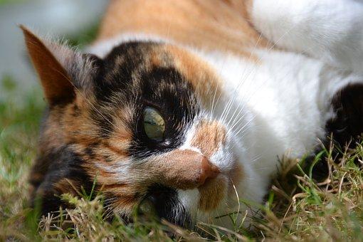 Cat, Eyes, Cat Eyes, Feline, Tabby Cat, Cat Lying