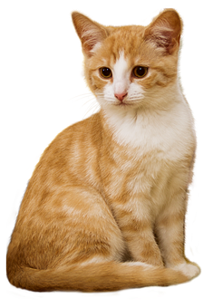 Cat, Png, Kitten, Sit, Isolated, Red, White, Attention