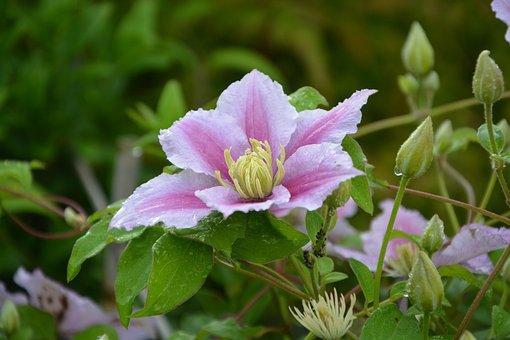 Flower, Clematis, Pink, White, Flowers, Creeper, Garden