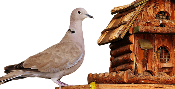 Dove, Bird, Food, Aviary, Feather, Plumage, Feeding