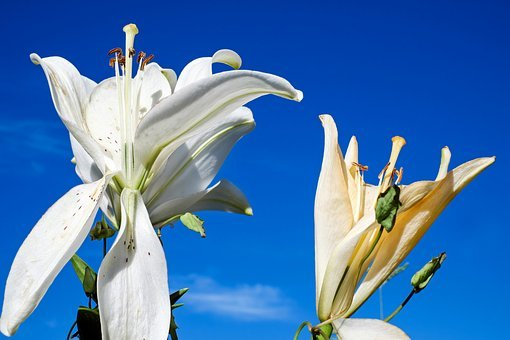 Lily, Flower, Blossom, Bloom, White, Blossomed