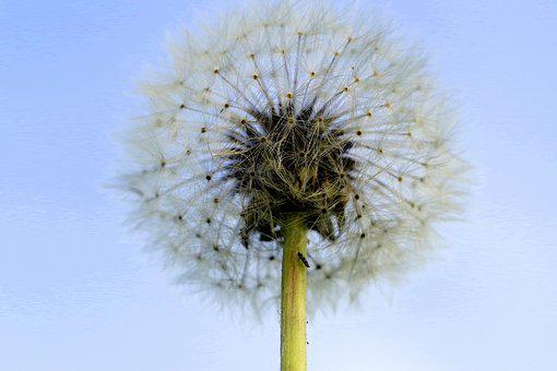 Dandelion, Illusion, Fluff, Seeds, Plant, Sky