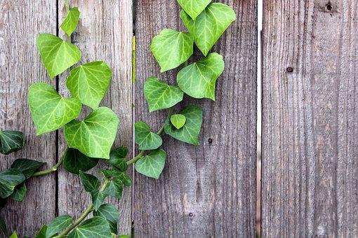 Ivy, Plant, Creeper, Foliage, Green, Nature, Decoration