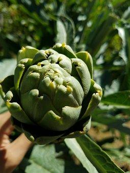 Artichoke, Plant, Food, Vegetable, Healthy, Flower