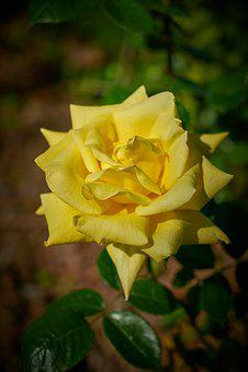Rose, Flower, Macro, Nature, Plant, Garden